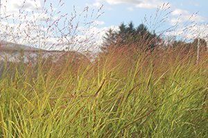 shenandoah switch grass panicum virgatum at johnson's nursery in menomonee falls wisconsin catalog