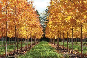 sugar maple acer saccharum wisconsin native tree yellow fall color catalog