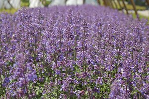 top selling perennial flowers walker's low catmint nepeta at johnson's nursery wisconsin catalog