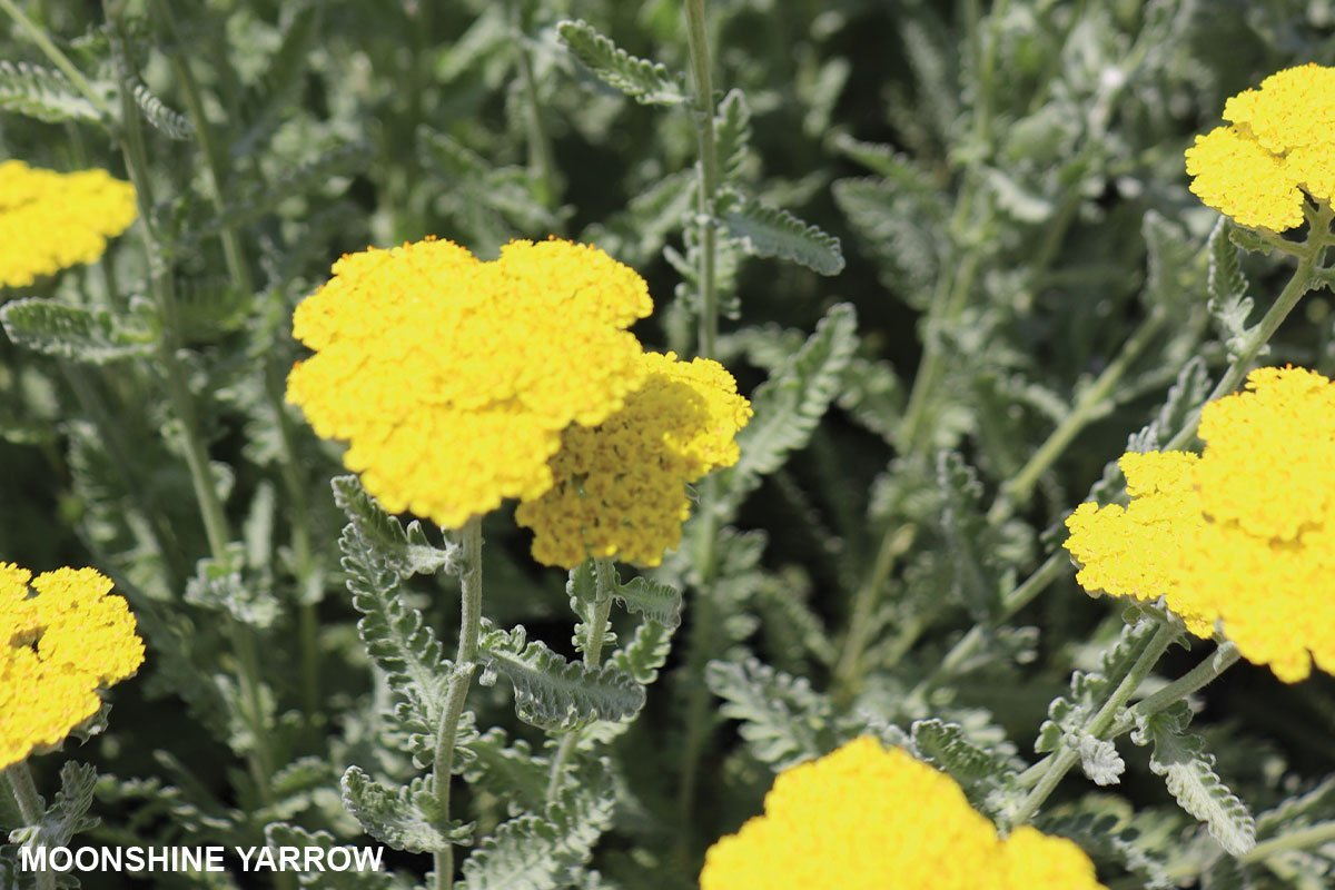 2021 color of the year and moonshine yarrow achillea