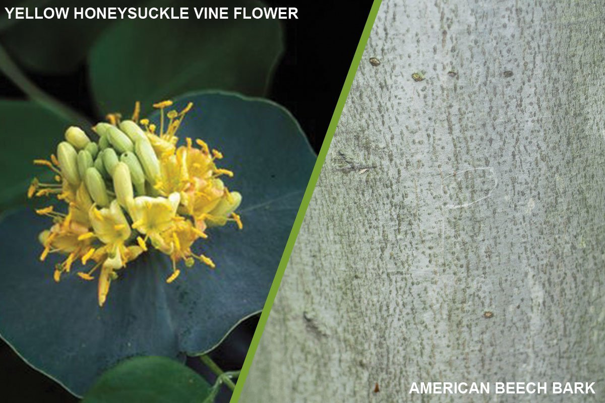 2021 color of the year yellow honeysuckle vine lonicera prolifers american beech fagus grandifolia