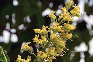 aesculus glabra jn select early glow buckeye yellow flower catalog