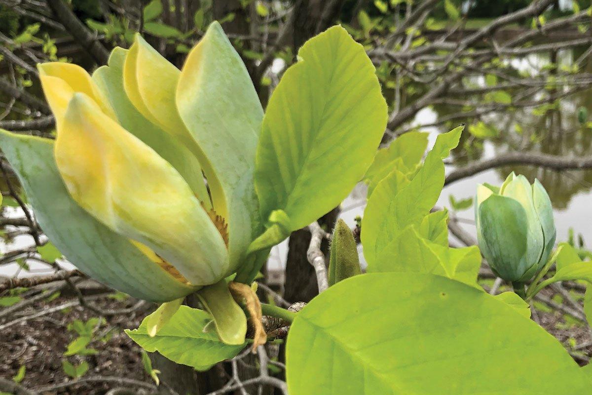new plants 2021 cucumbertree magnolia acuminata pink fruit pyramidal tree wisconsin