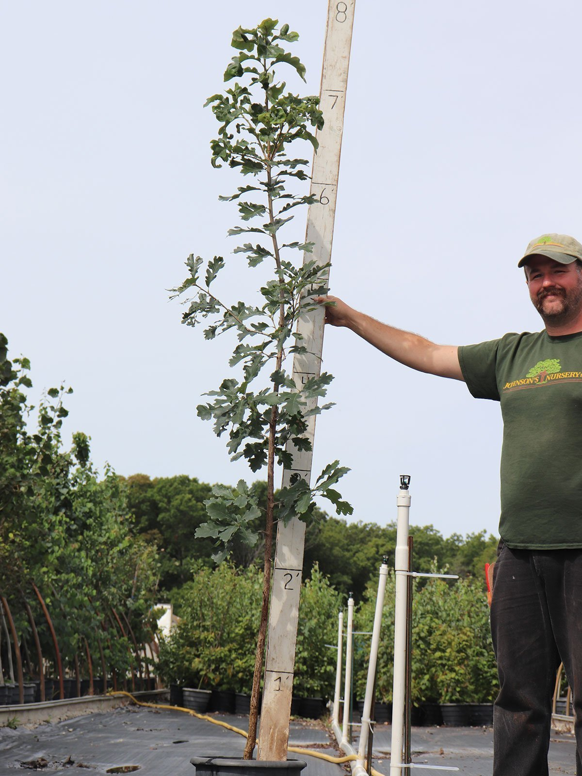 better success transplanting oaks growing in #5 container rootmaker pots at johnson's nursery
