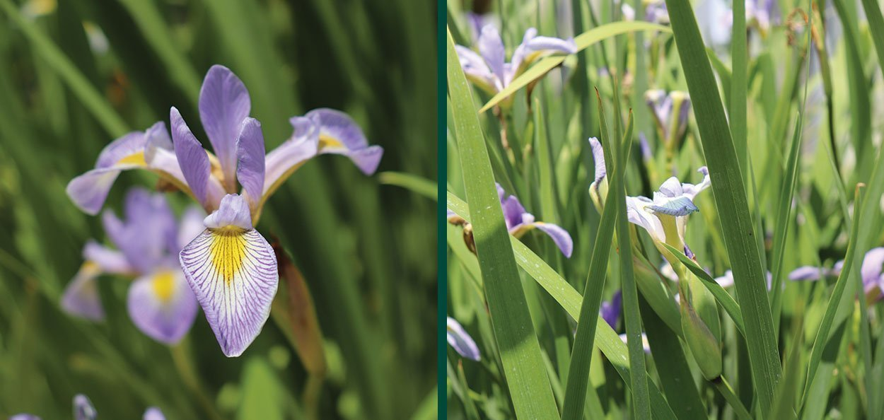 buy iris versicolor harlequin fleur-de-lis flower wetland native perennials johnson's nursery wisconsin