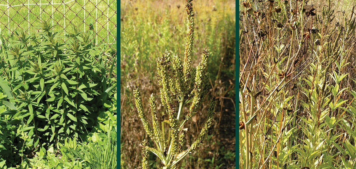 culver's root veronicastrum virginicum foliage and fall color seed