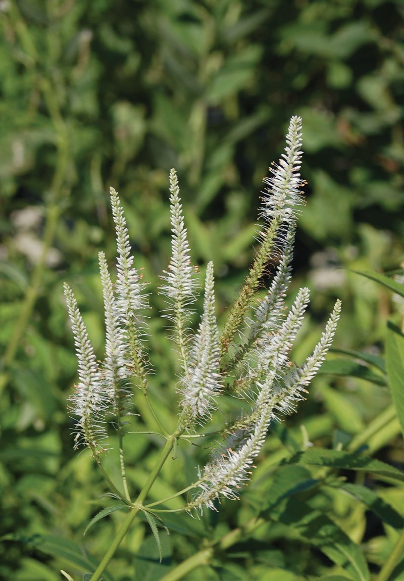 culver's root veronicastrum virginicum wisconsin native perennial flower johnson's nursery ftimg