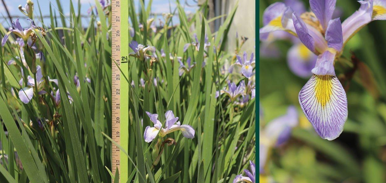 find iris versicolor harlequin blue flag wisconsin native for sale at johnson's nursery in menomonee falls wisconsin