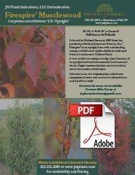 firespire musclewood carpinus caroliniana jn upright info flyer