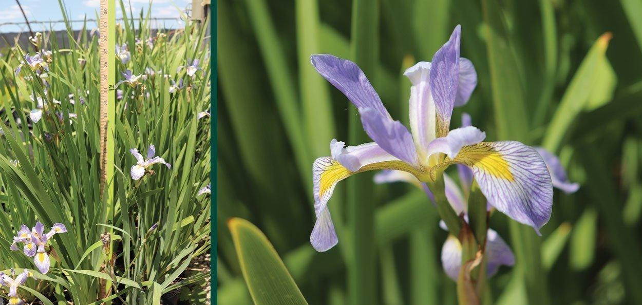 iris versicolor harlequin blue flag wisconsin native wetland perennial blue purple large flower