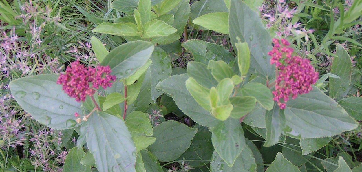 new jersey tea ceanothus americanus maroon fruit seed clusters in late summer