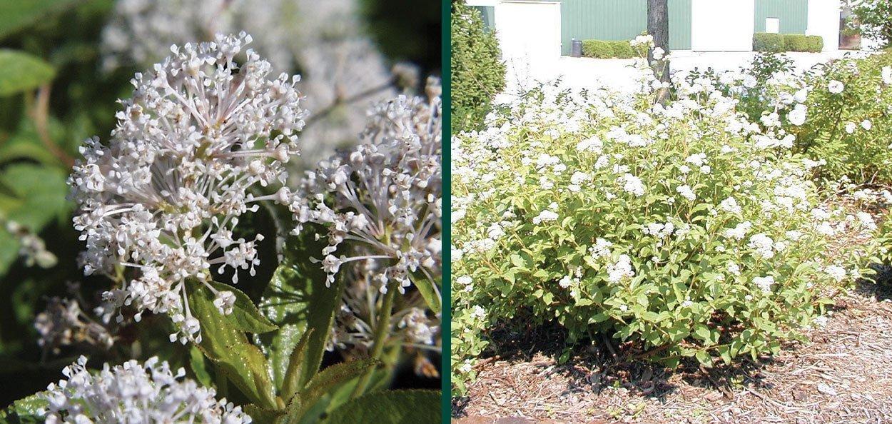 new jersey tea ceanothus americanus small white flower pollinator shrub