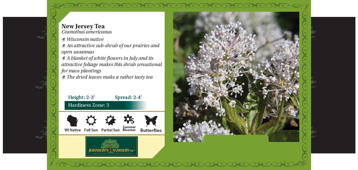 new jersey tea ceanothus americanus wisconsin native shrubs johnson's nursery benchcard