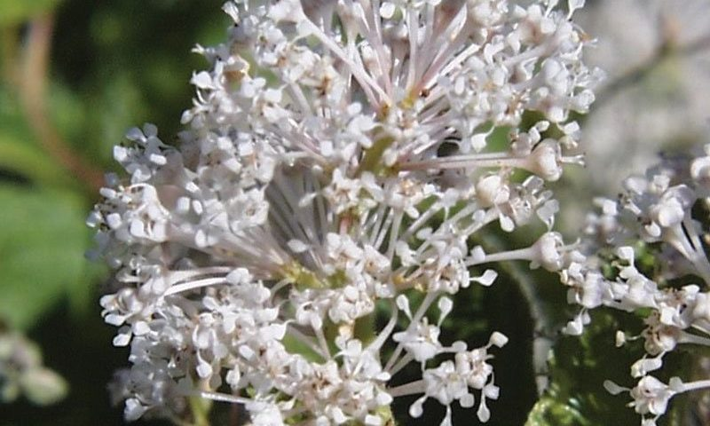 new jersey tea ceanothus americanus wisconsin native shrubs johnson's nursery ftimg