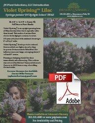 violet uprising lilac syringa patula jn upright select johnson's nursery shrubs wisconsin info flyer img