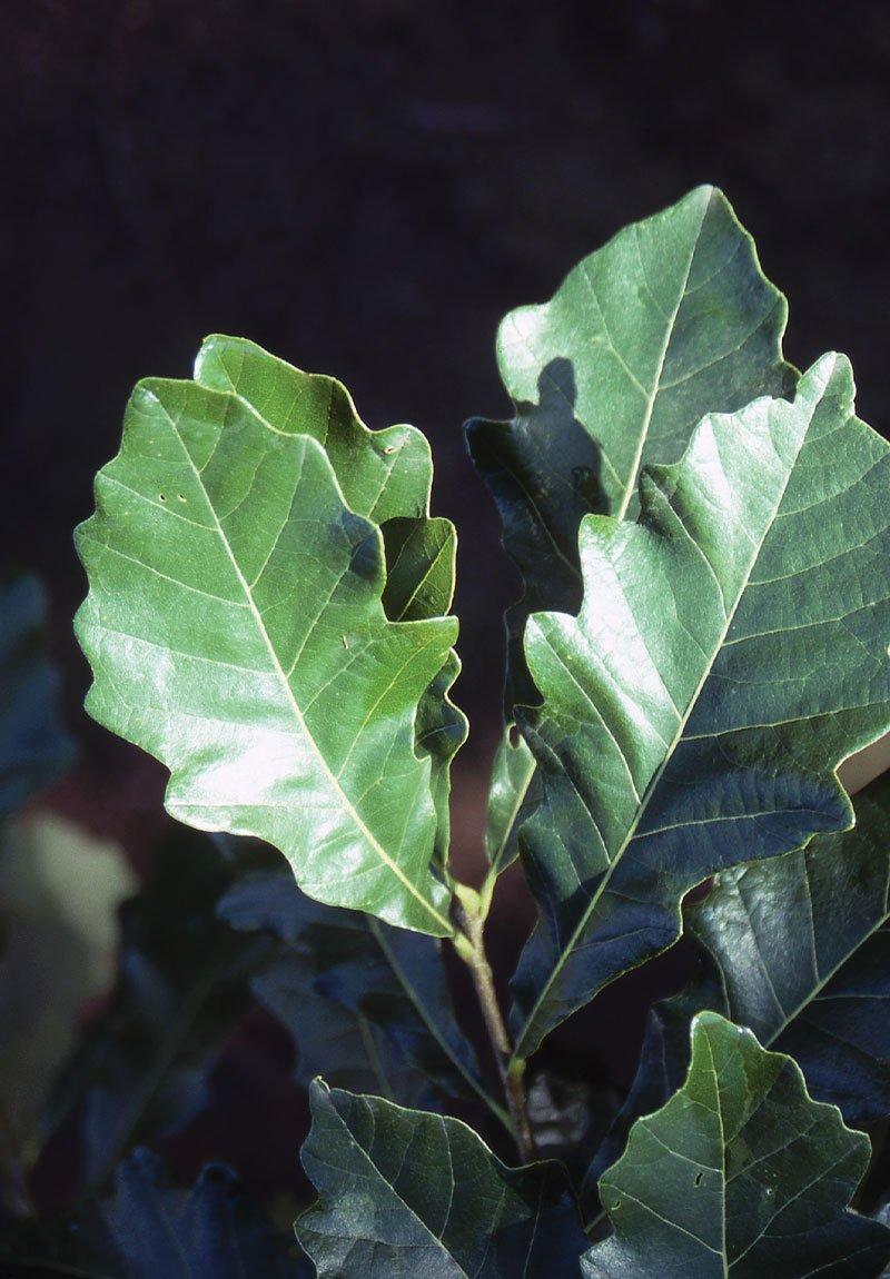 swamp white oak quercus bicolor johnson's nursery ftimg