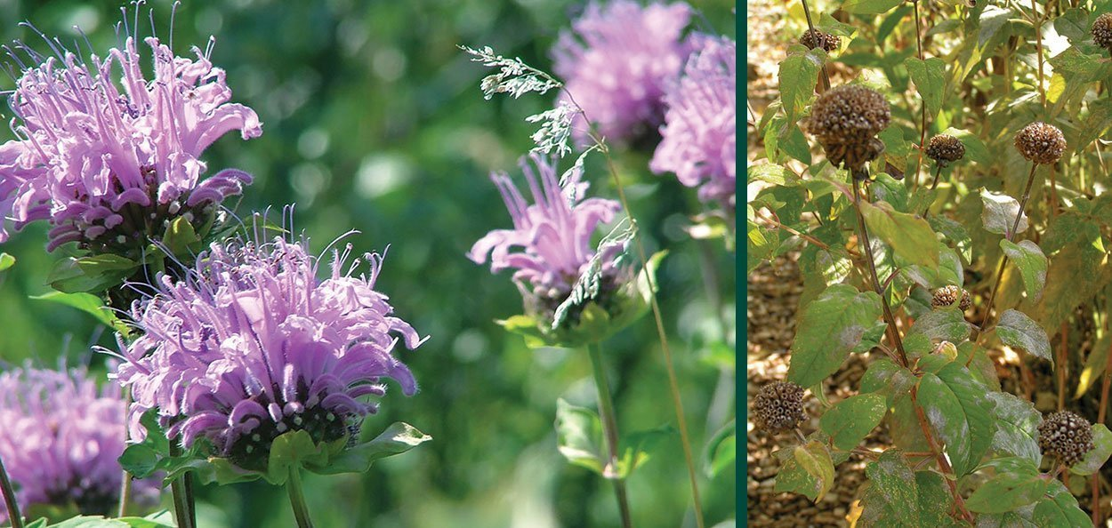 wild bergamot monarda fistulosa at johnson's nursery in bloom and in seed