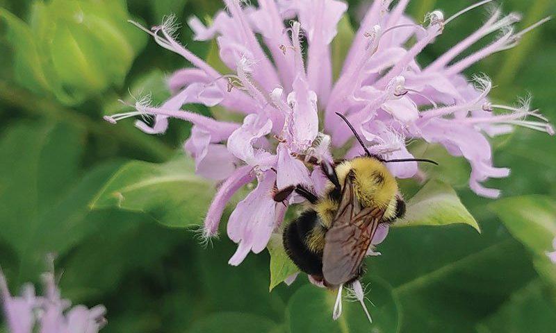 wild bergamot monarda fistulosa wisconsin native perennial flower ftimg