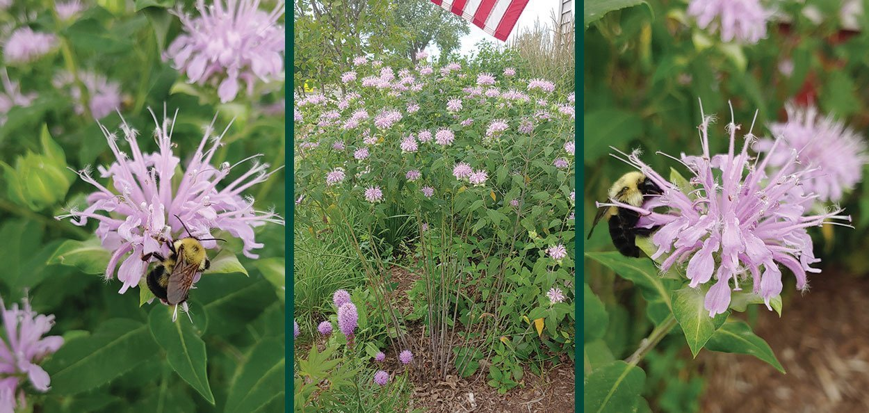 wild bergamot monarda fistulosa wisconsin natives for bees and pollinators purple lavendar flower in bloom