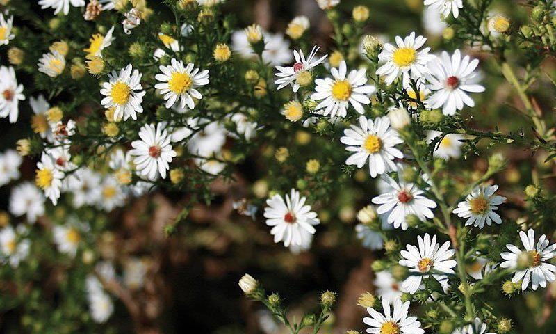 heath aster symphyotrichum ericoides native perennial ftimg