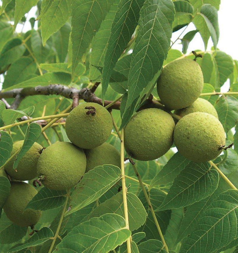 black walnut juglas nigra wisconsin native tree ftimg