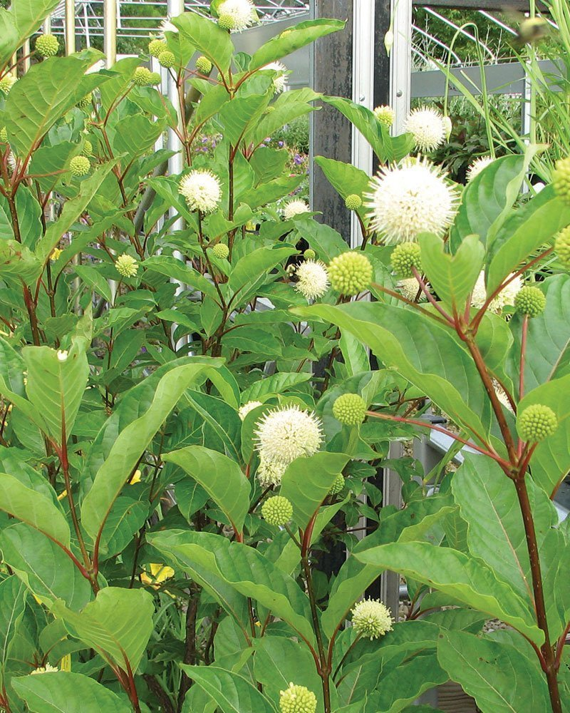 buttonbush cephalanthus occidentalis wisconsin native shrub flower ftimg