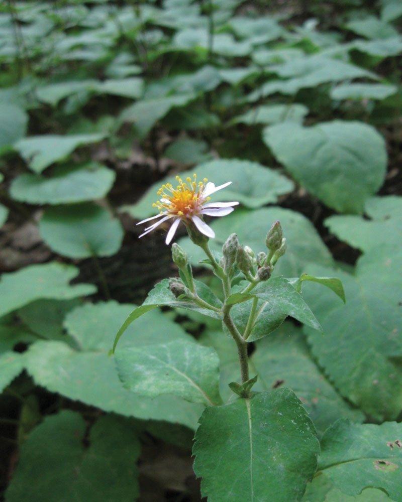 bigleaf aster eurybia macrophylla wisconsin native perennials ftimg