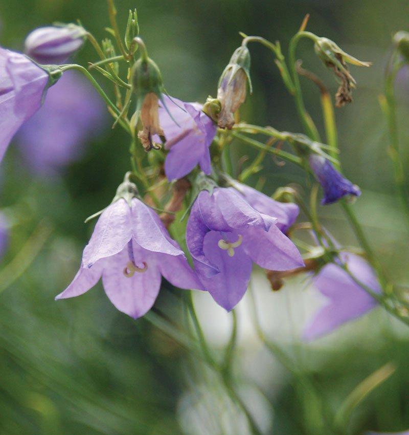 blue harebell bellflower campanula rotundifolia wisconsin native perennial ftimg