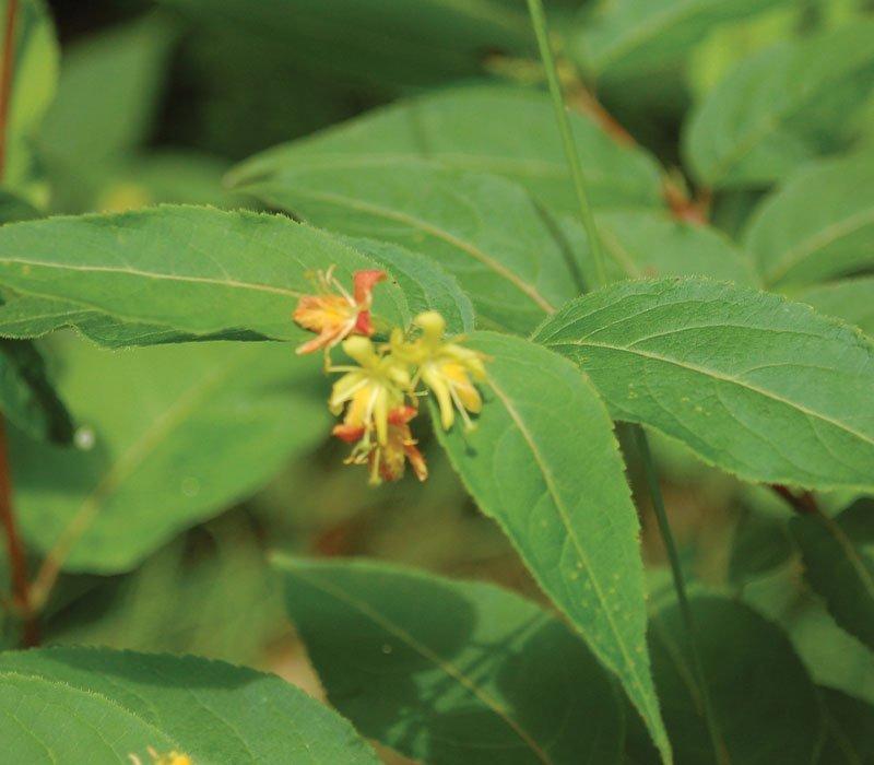 dwarf bushhoneysuckle diervilla lonicera native shrubs wisconsin ftimg