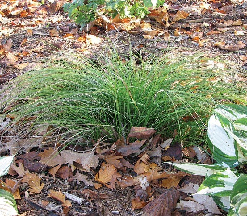 pennsylvania sedge carex pensylvanica wisconsin native grass ftimg