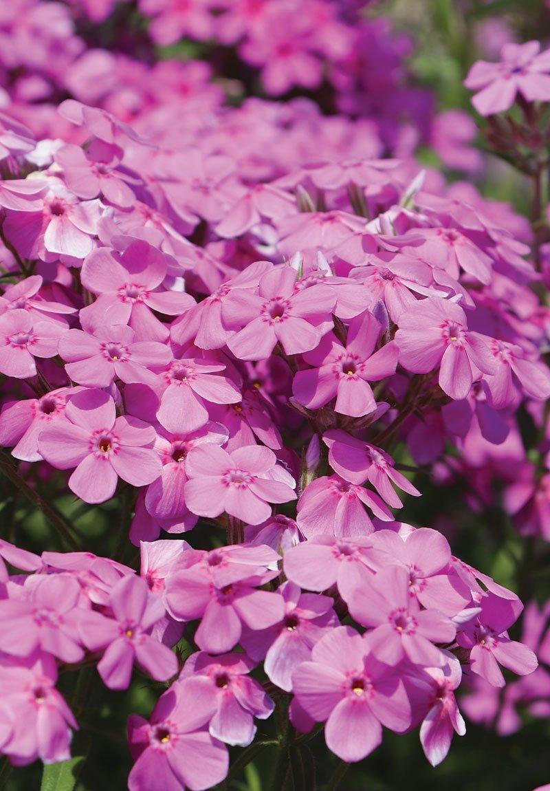 prairie phlox pilosa wisconsin native perennial ftimg