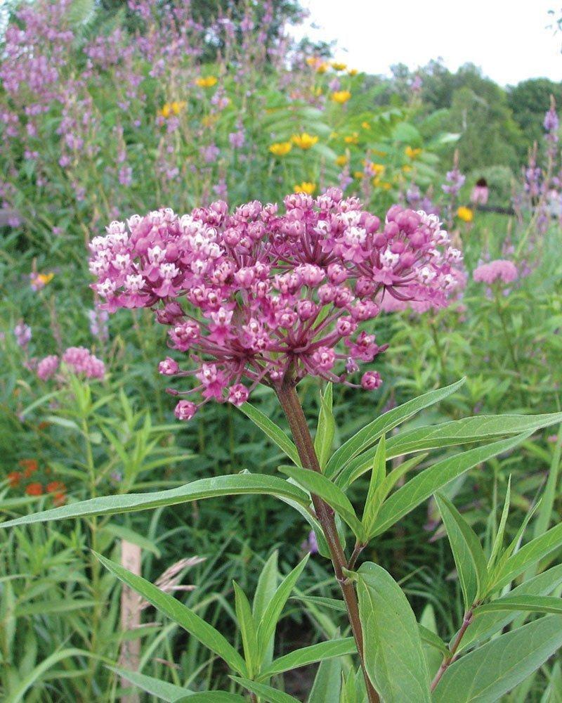 red milkweed asclepias incarnata wisconsin native perennial ftimg