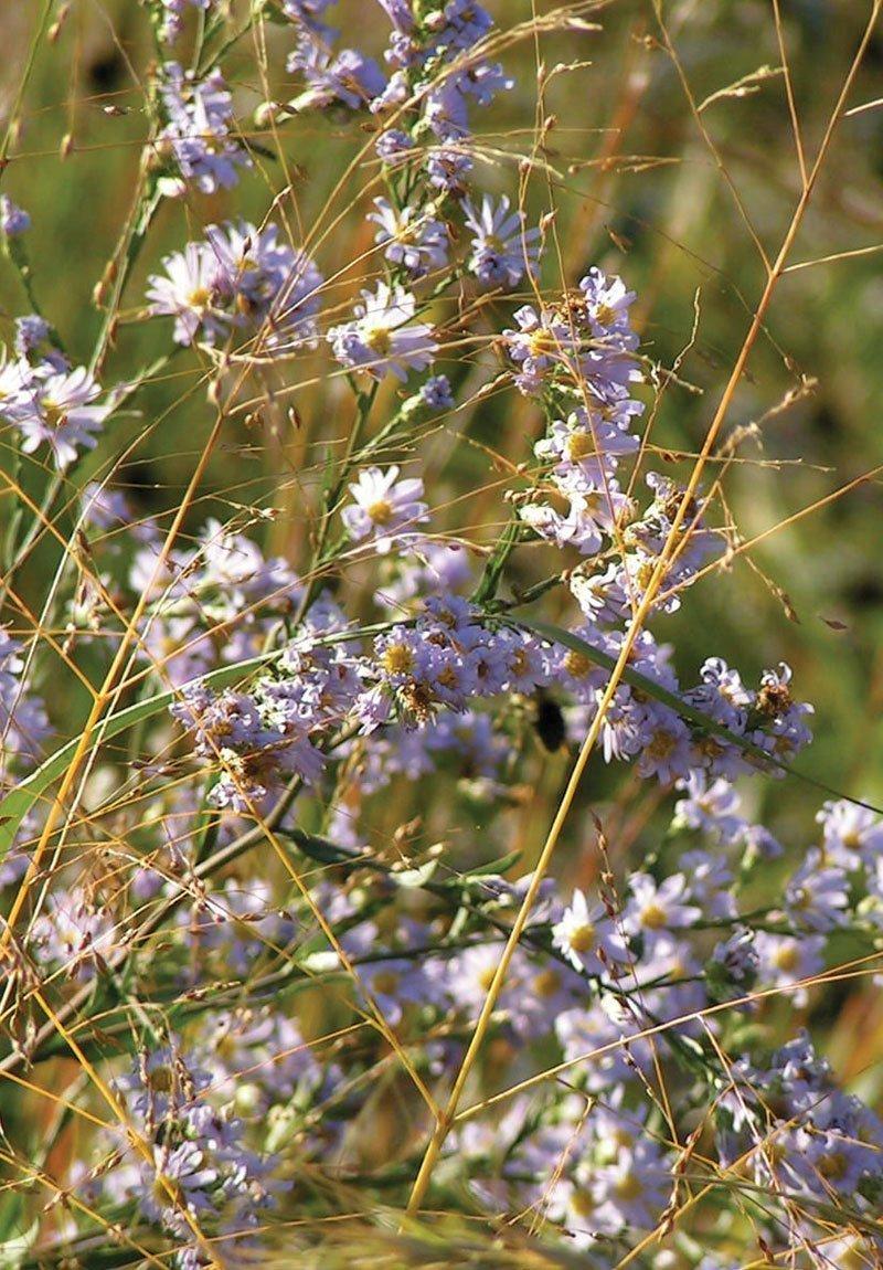 sky blue aster symphyotrichum oolentangiense native fall perennial ftimg