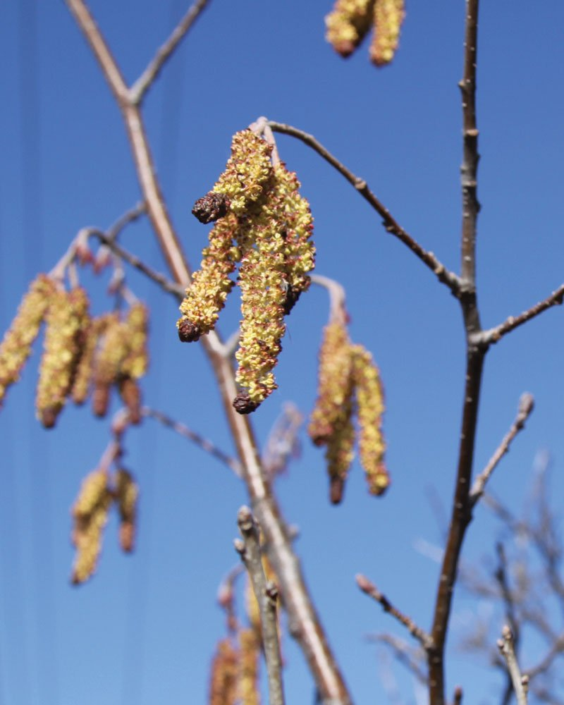 speckled alder alnus incana var rugosa native trees ftimg