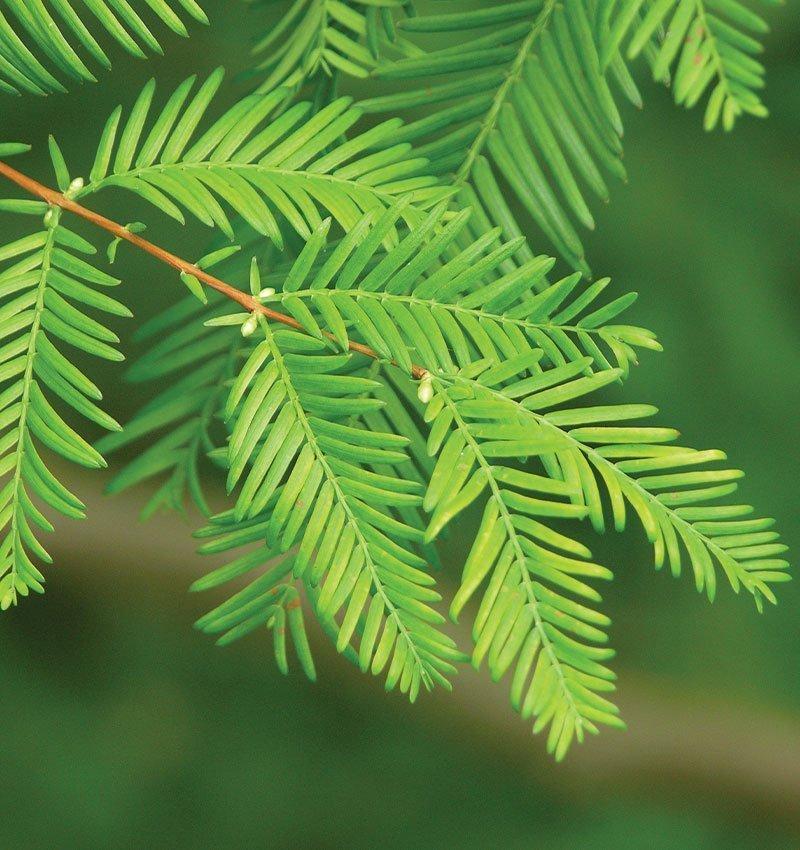 dawn redwood metasequoia glyptostroboides ftimg